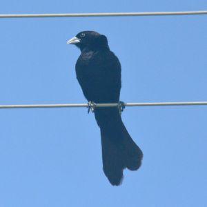 White-winged Widowbird - Decklan