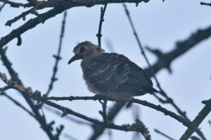 Emerald-spotted Wood-Dove - juvenile