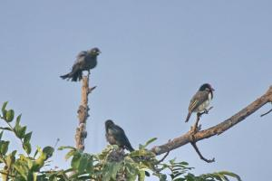 Fork-tailed Drongos and Black-collared Barbet
