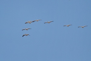 Pink-backed Pelicans in formation