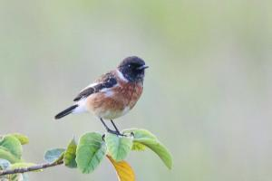 African Stonechat - male