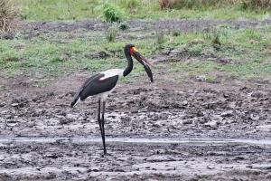 Saddle-billed Stork with a mudfish for breakfast.