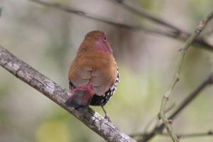 Pink-throated Twinspot