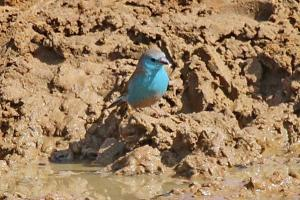 Very Blue Waxbill