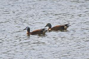 Male and female South African Shelducks