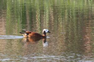 Female South African Shelduck