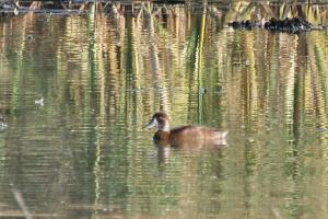 Southern Pochard - female