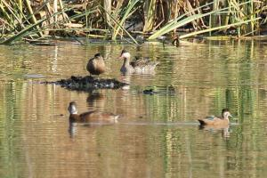 Southern Pochard - females with Red-billed Teal and Cape Shoveler