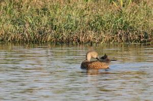 Cape Shoveler female