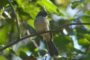 Blue-mantled Crested Flycatcher -Decklan and Hennie