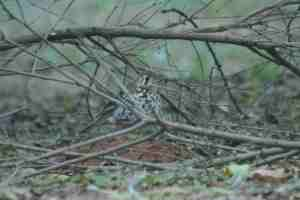 Spotted Ground Thrush -Decklan and Hennie