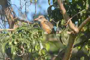 Brown-hooded Kingfisher - Decklan and Hennie