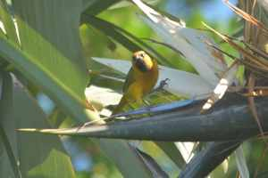 Spectacled Weaver - Decklan and Hennie