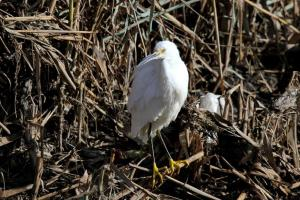 Snowy Egret showing black front to the legs