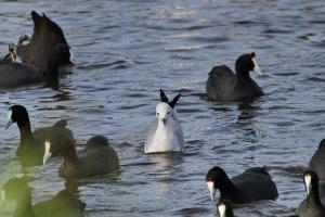 Hartlaub's Gull