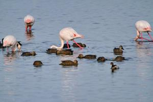 Greater Flamingo with Cape Shovelers