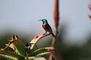 Souhern Double-collared Sunbird