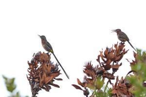 Cape Sugarbirds singing