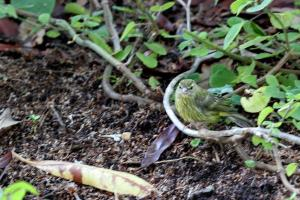 Forest canary.