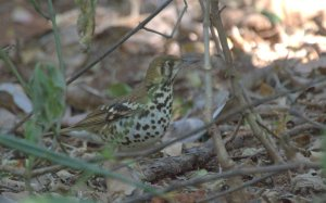 Spotted Ground Thrush -John