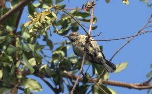 Amethyst Sunbird - John