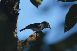 Black-throated Wattle-eye