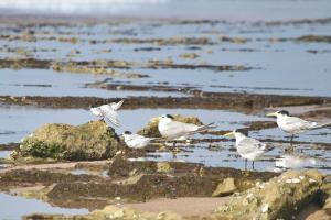 Common and Swift Terns