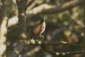 Juvenile Tambourine Dove