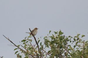 Mystery Cisticola - another