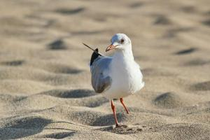 One footed Grey-headed Gull