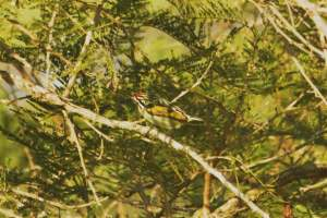 Red Fronted Tinkerbird