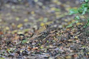 Spotted Ground-Thrush