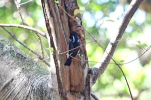White-eared Barbet  at nest hole