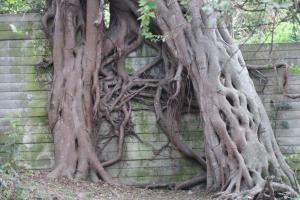 Scene from a horror movie - Strangler Fig