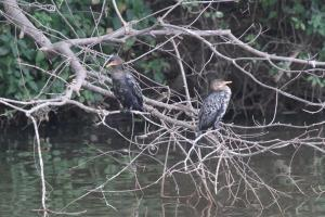 Reed Cormorants - posing as bookends