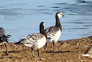 Barnacle Geese