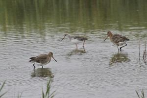 Black-tailed Godwit and Common Redshank