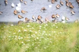 Black-tailed Godwits and Knots in front
