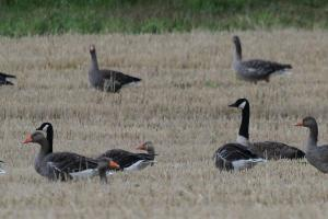 Canada and Greylag Geese