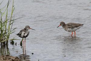Spotted and Common Redshanks