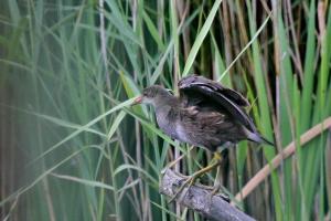 Common Moorhen - juvenile