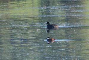 Coot and Ruddy Duck