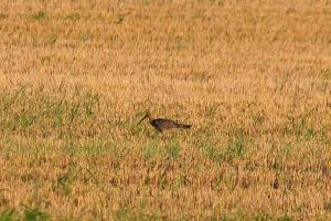 Curlew - seen in a field away from the coast