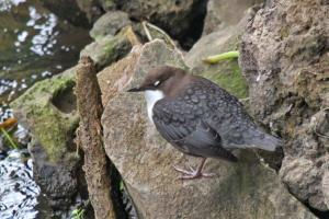Dipper with eyes closed
