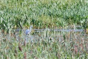 Great Egret - unusual in the UK