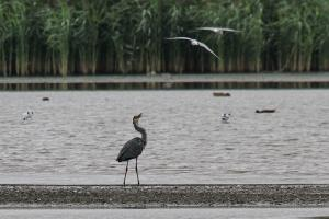 Grey Heron being bombed by a gull