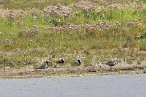 Grey Plovers in breeding plumage