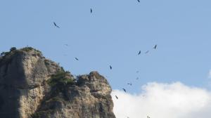 Griffin Vultures