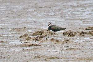 Lapwing and ....?
