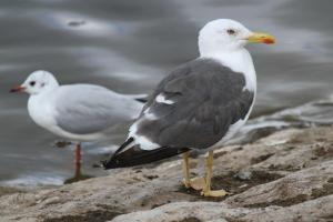 Great Black-backed Gull and Black-headed Gull